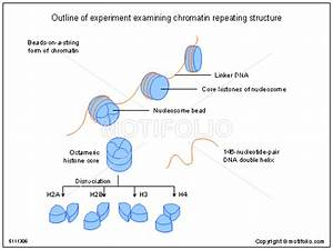 Outline Of Experiment Examining Chromatin Repeating Structure Illustrations