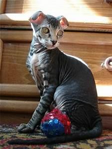 hairless cat breeds pets animals stories