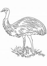 Emu Bird Flightless Coloring sketch template