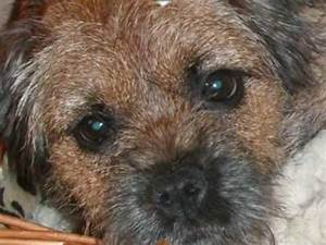 Cute Border Terrier puppy - YouTube