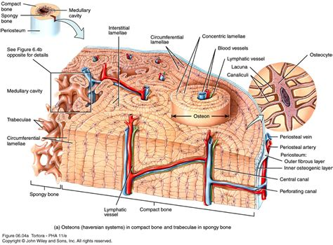 At the appropriate time, the cartilage model is invaded by a mass of material that begins to destroy the. (5) Bone Tissue at University of Michigan - Ann Arbor - StudyBlue