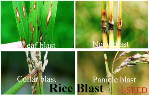 rice blast disease microbe news