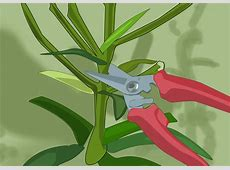 3 Ways to Grow and Care for Asiatic Lilies wikiHow