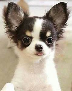 25+ best ideas about Long Haired Chihuahua Puppies on ...