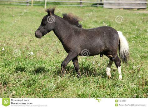 nice foal horse american miniature pasture minihorse
