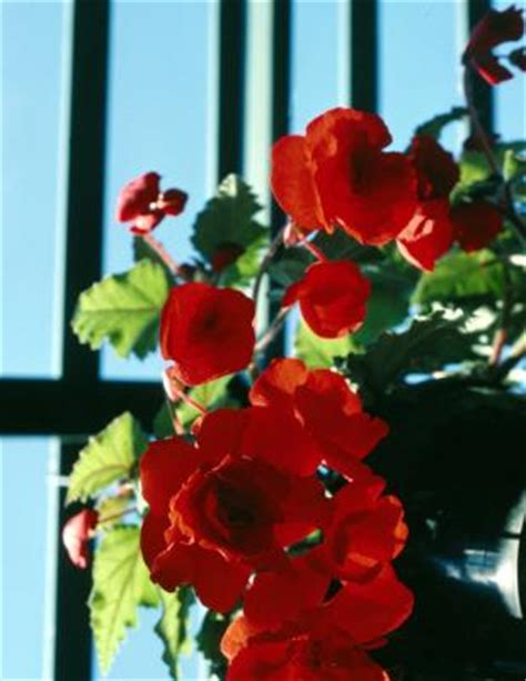 begonia care indoors how to care for hanging begonias ehow uk