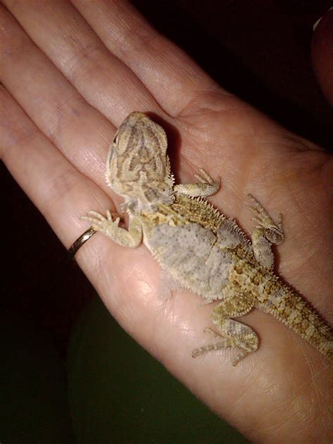 Bearded Shedding And Not by Bearded Dragons