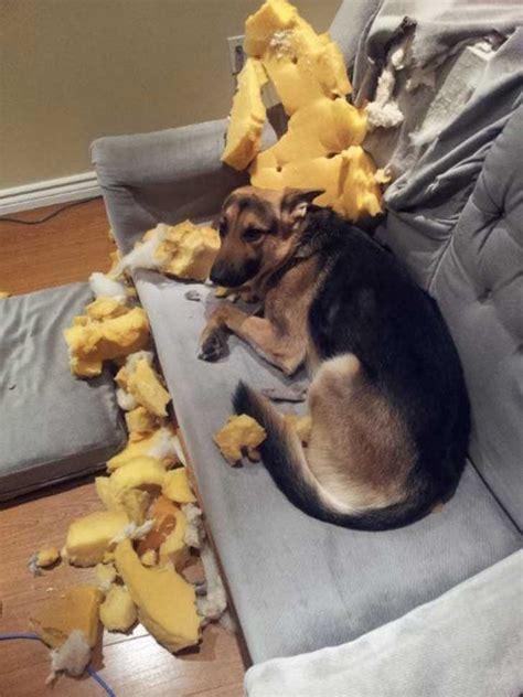 travesuras  hacen tus perros cuando  estas en casa