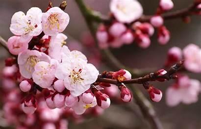 Sakura Flower Wallpapers Pink Cave