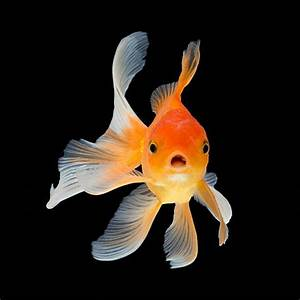 Goldfish Pictures  Images And Stock Photos
