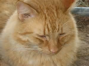 cat images my cat oliver pumpkinqueen photo 15399125 fanpop