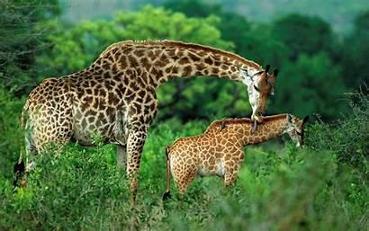Animal Giraffe Child Animals Wallpapers