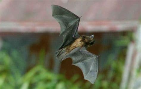 little brown bat facts anatomy diet habitat behavior
