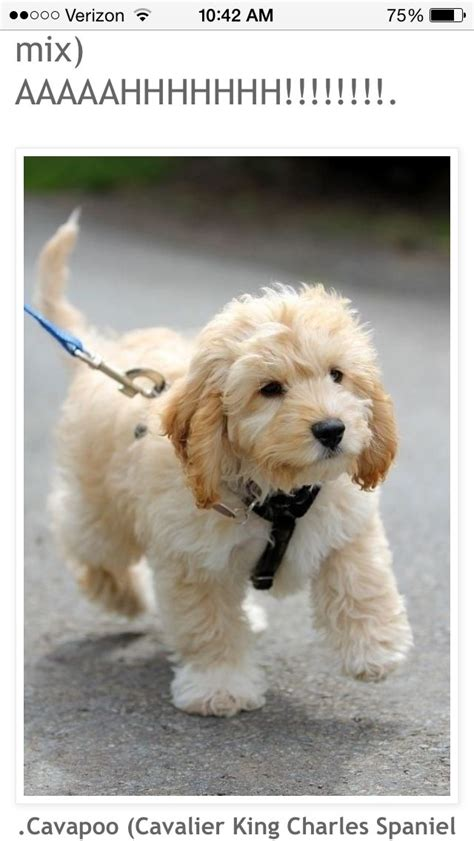 25 best ideas about cute small dogs on pinterest cutest