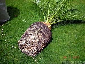 Welche Erde Für Palmen : welche erde f r palmen pflanzen f r nassen boden ~ Watch28wear.com Haus und Dekorationen