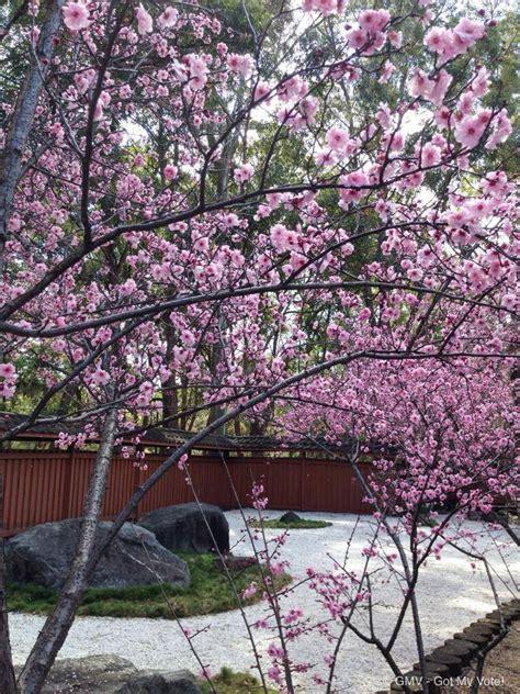 botanical garden cherry blossom cherry blossom festival auburn botanic gardens 2016 sydney