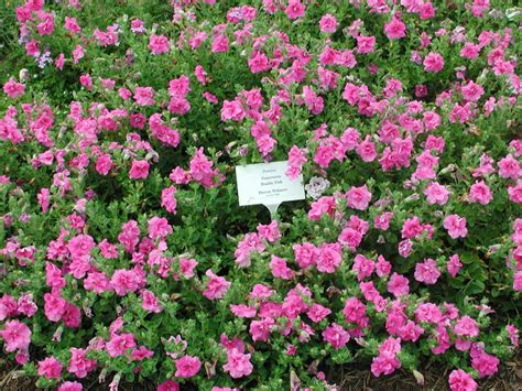 what are annual flowers top 28 pink annual flowers list petunia supertunia giant pink annual flower research at