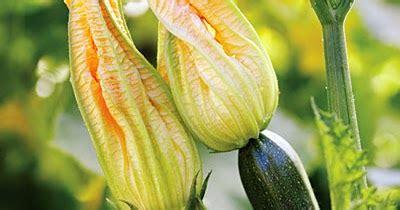 Coltivare Zucchine In Vaso by Coltivare Zucchine In Vaso O Nell Orto Cucina Green