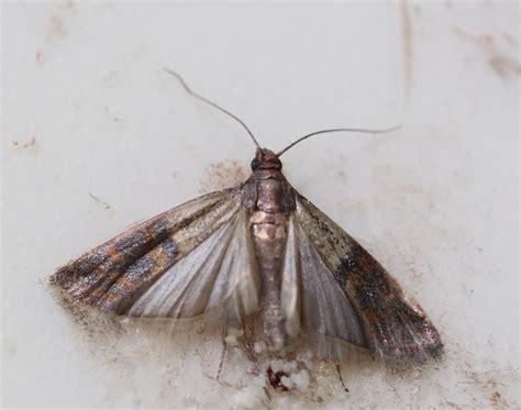 pantry moths pantrymoth pantrymoths