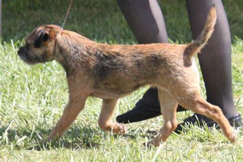 border terrier breed information border terrier images