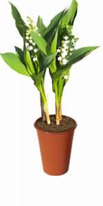 Comment Planter Du Muguet : le muguet sa culture ~ Melissatoandfro.com Idées de Décoration