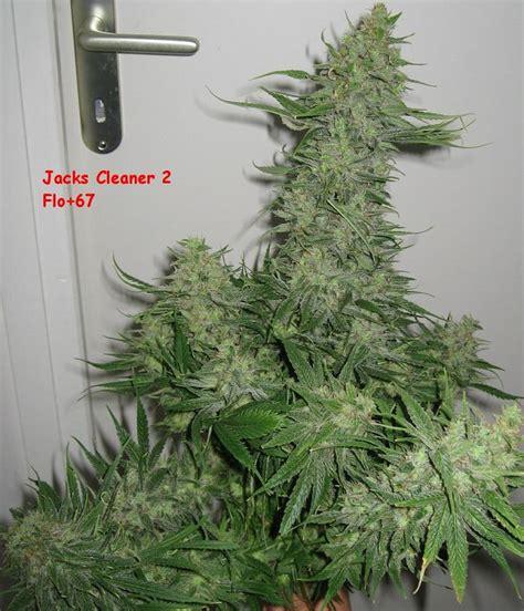 comment choisir et faire germer les graines de cannabis selon subcool du growshop alchimia