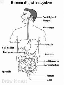 Digestive System Diagram Draw It Neat   How To Draw Human Digestive System
