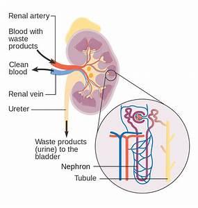 File Diagram Showing How The Kidneys Work Cruk 138 Svg