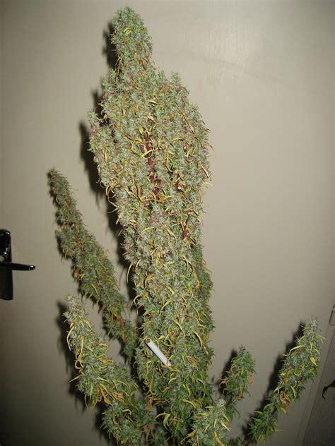 fin de floraison cannabis interieur utiliser l engrais pour cultiver du cannabis en terre du growshop alchimia