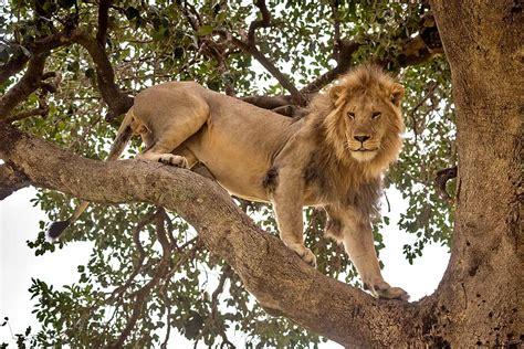 3-Day Lion Conservation Safari at Queen Elizabeth National ...