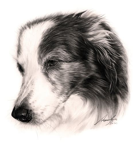 Commission Border Collie By Captured In Pencil On Deviantart