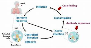 Natural History Of Mycobacterium Tuberculosis Infection  M