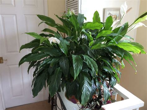 Large Peace lily in 36cm tub . Plant is appx. 102 cm wide
