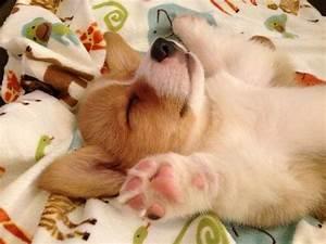 16 Hilarious Photos That Prove Corgis Can Sleep Absolutely ...
