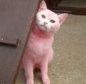 pink cats the pink panther of swindon white cat is abandoned after