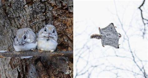 japanese dwarf flying squirrels    adorable   japanese dwarf