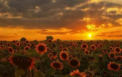 Sunflowers Nature Wallpapers Matahari Bunga Desktop Sunflower