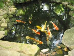 koi fish pond the accidental gardener oh no not another koi pond