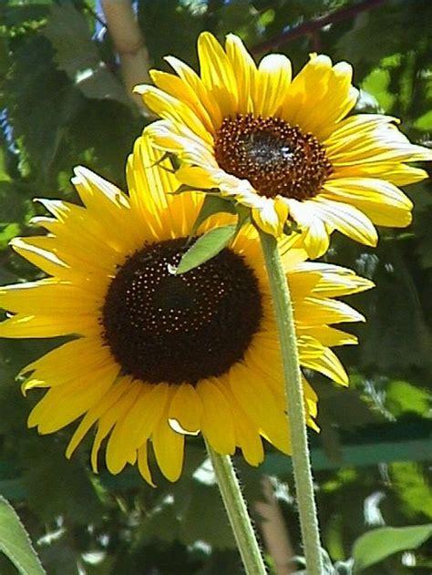 Best 25 Sunflower Garden Ideas On Pinterest Growing