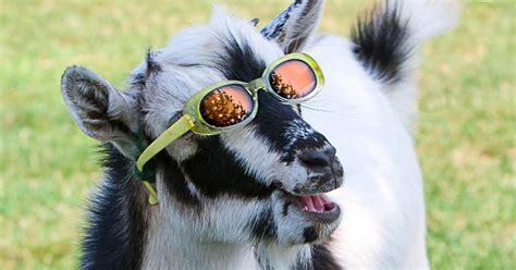 weeks    web dance   goat