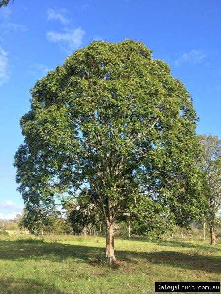 flindersia australis teak  crows ash tree