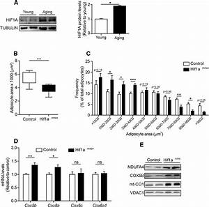 HIF1A Promotes Age-Dependent Complex IV Decline Associated ...