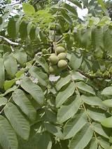 Настойка перепонок грецкого ореха от диабета