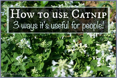 how to use catnip how to use catnip on humans