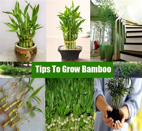 how to grow bamboo at home top 28 how to grow bamboo at home how to plant bamboo without it taking over the 25 best
