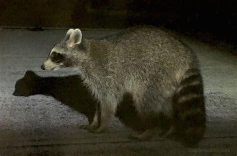 raccoon pictures