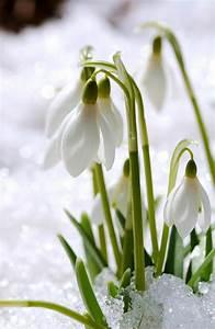 Welche Blumen Blühen Im Winter Draußen : welche fr hlingsblumen bl hen wann flowers pinterest fr hling blumen blumen and fr hling ~ Watch28wear.com Haus und Dekorationen
