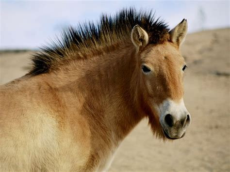 przewalski horses endangered mongolia horse wild china extinct four sends century