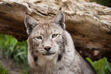 beautiful lynx  ultra hd wallpaper background image
