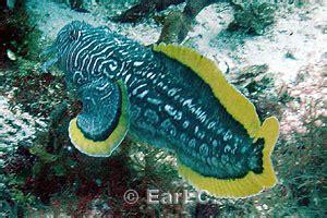 sanopus splendidus splendid toadfish